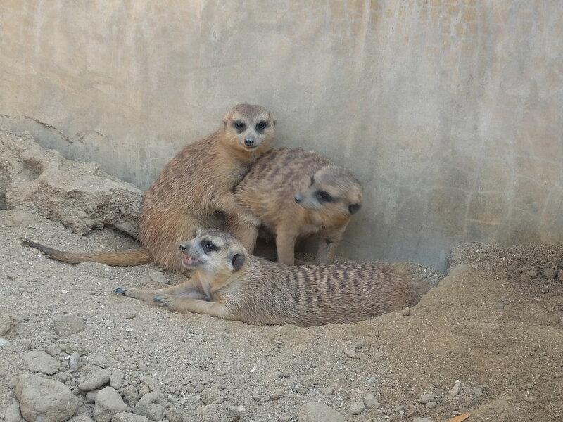 Чиангмай - Зоопарк - Сурикаты