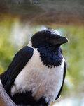 Ворон белогрудый (Corvus albus)