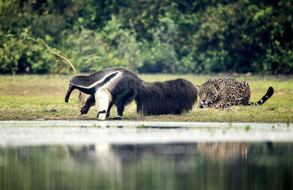 Ягуар не рискнул напасть на крупного муравьеда