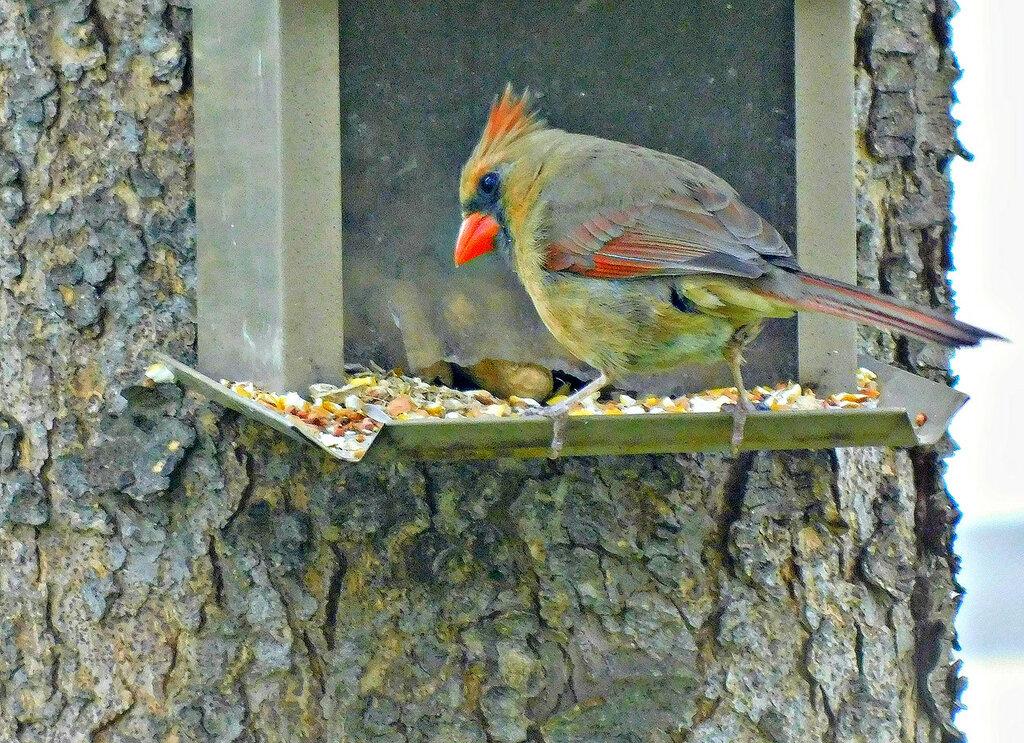 Самка кардинала