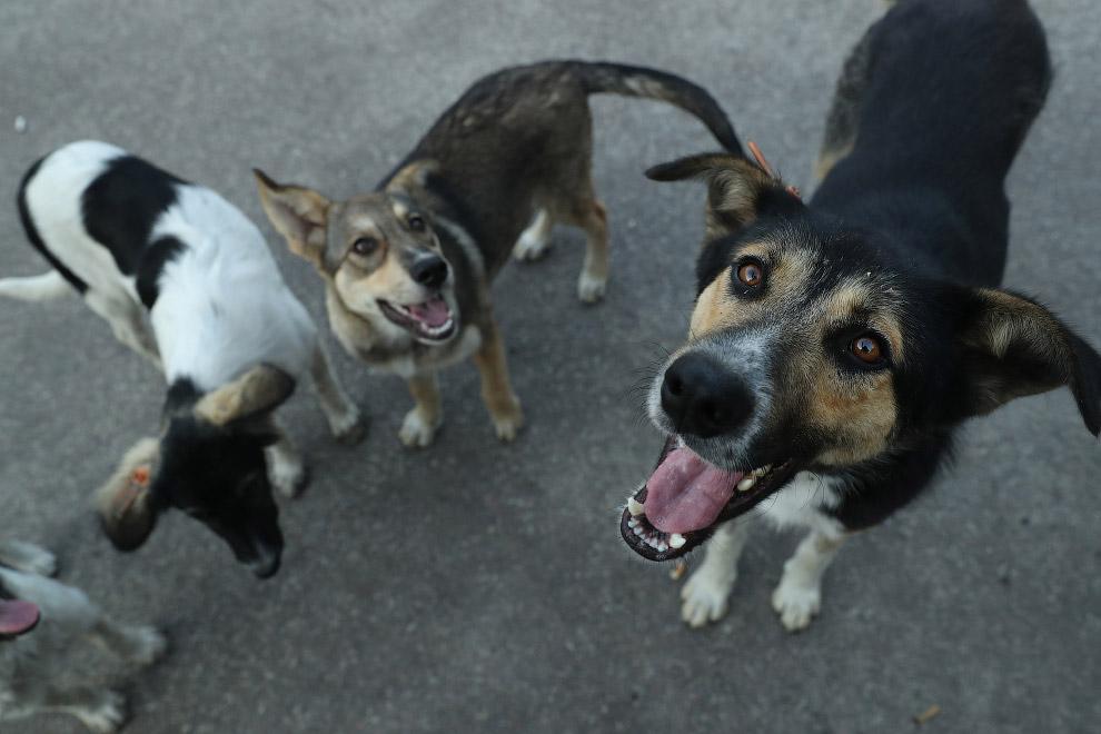 15. Собаки на фоне заброшенной после аварии Чернобыльской АЭС. (Фото Sean Gallup):