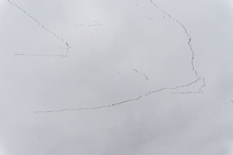 большая стая птиц летит на юг