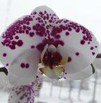"""Орхидея """" Ева весенний цвет"""""""