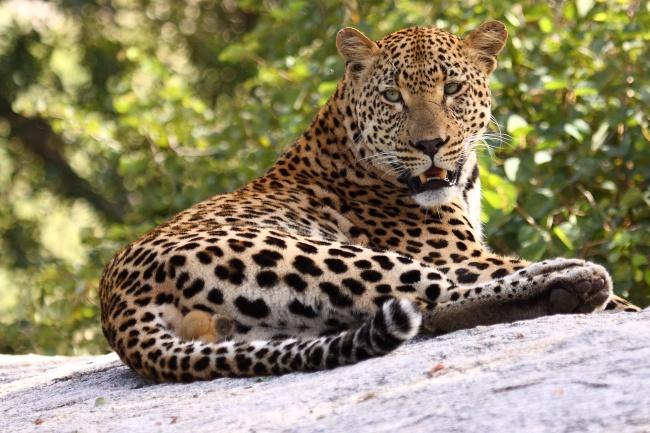 © Dave Pusey     Леопард неприхотлив веде: онпитается свежей добычей инедаст