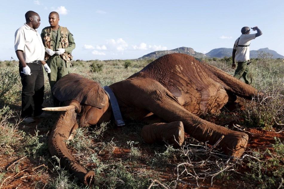 Отлов слонов в Кении
