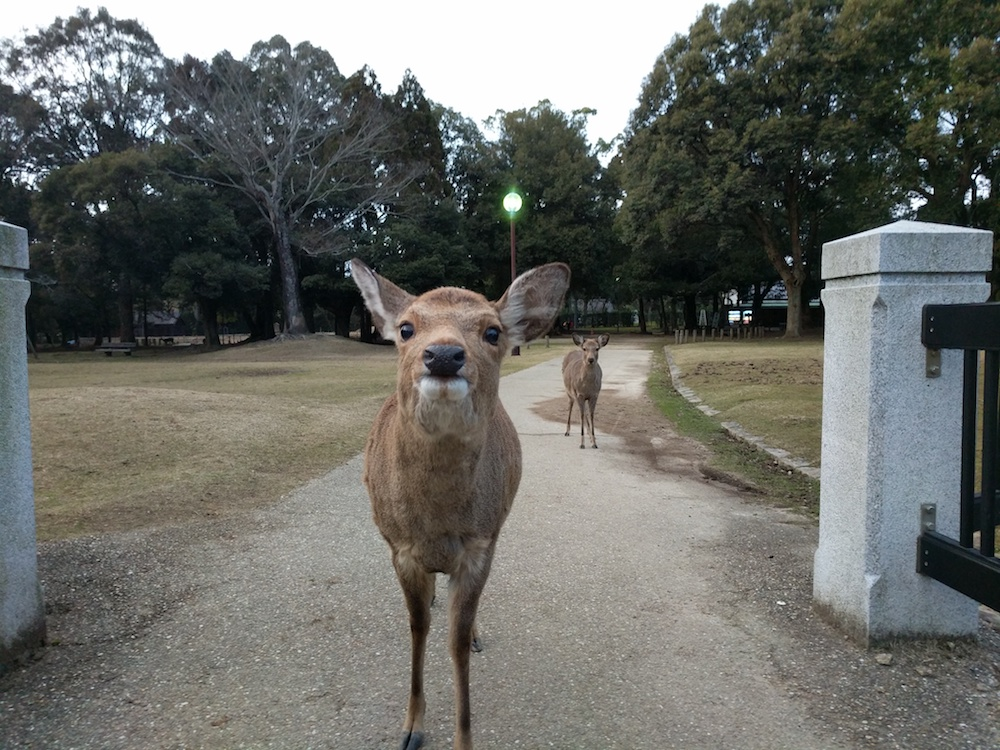 Волшебный парк в Японии, где олени кланяются людям за еду