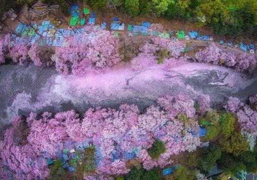 Японский парк в опавших лепестках сакуры