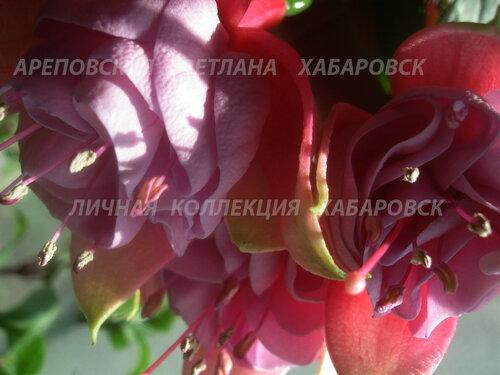 НОВИНКИ ФУКСИЙ. - Страница 5 0_155e5e_4d1d9a4_L