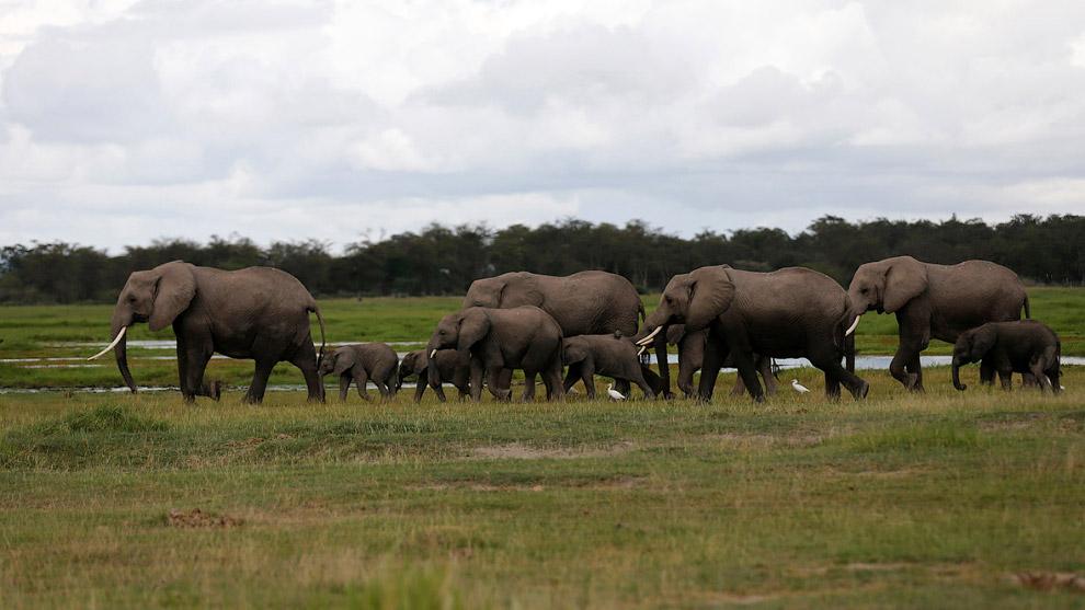 Исторический ареал диких слонов в Азии в настоящее время фрагментирован, незаконная охота на них про