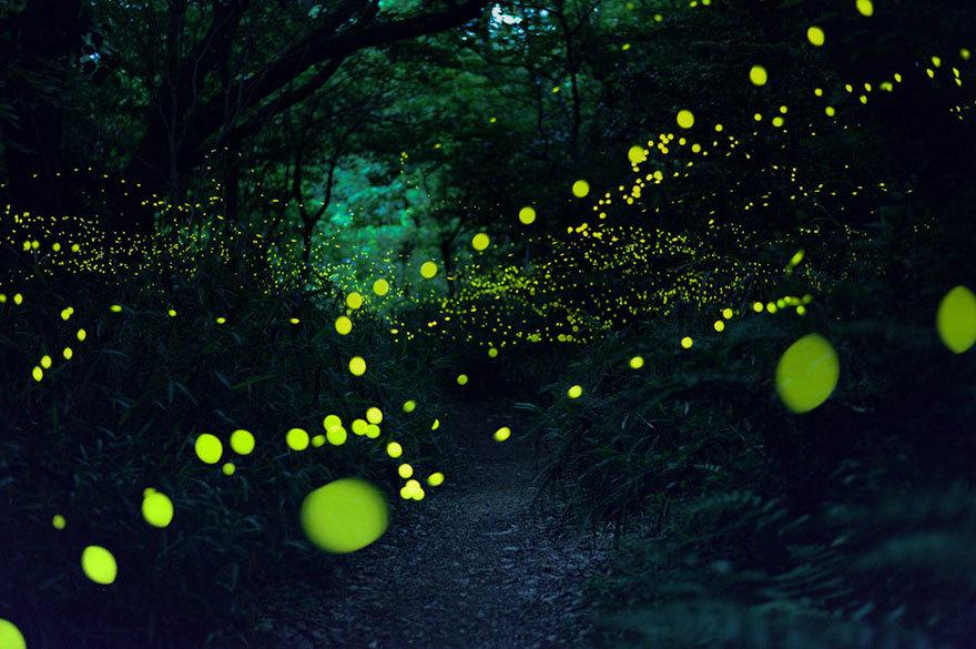 Прекрасные снимки светлячков в летней Японии