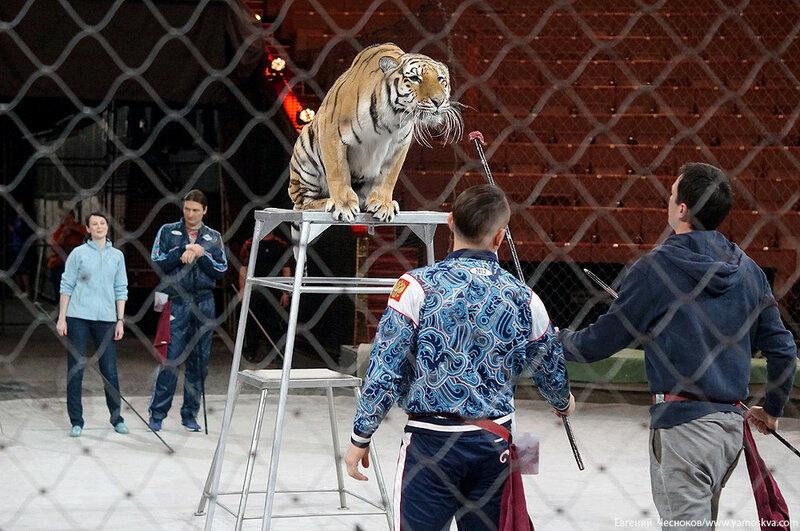 Весна. Назарова. тигры. 29.03.16.06..jpg