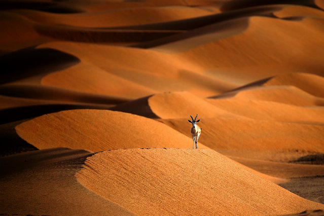 A sand gazelle is seen at the Arabian Oryx Sanctuary in Umm Al-Zamool, some 290 kilometres south of