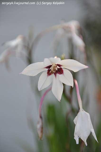 Acidanthera murielae.JPG