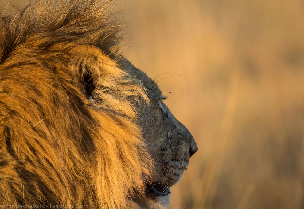 9. И, похоже, разведка молодой львицы дала свои плоды. Альфа-самец уже наелся и уходил в стор