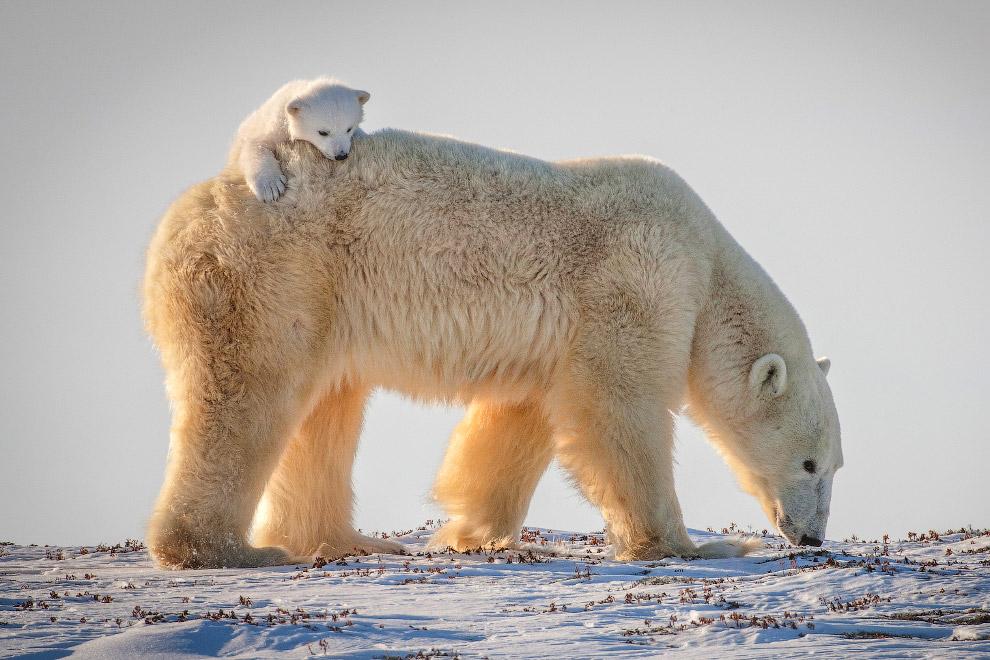 14. Несмотря на кажущуюся неповоротливость, белые медведи даже на суше быстры и ловки, а в воде легк