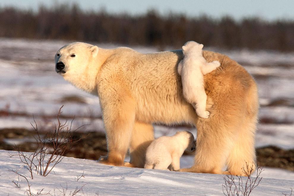 17. Как крупный и сильный хищник, порой опасный для человека, белый медведь издавна стал уважаемым п