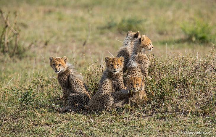 5 маленьких гепардов из Масаи-Мара (13 фото)