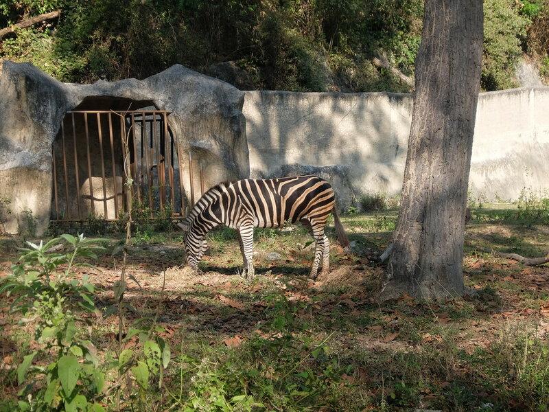 Чиангмай - Зоопарк - Зебра