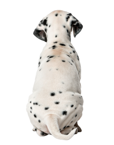 Rear view of a Dalmatian puppy sitting in front of a white backg