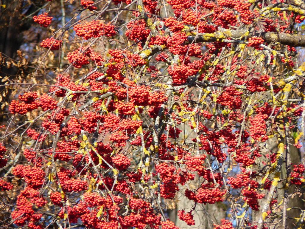 Осень... ягоды рябины огоньком горят- красны, как рубины, на ветвях блестят...