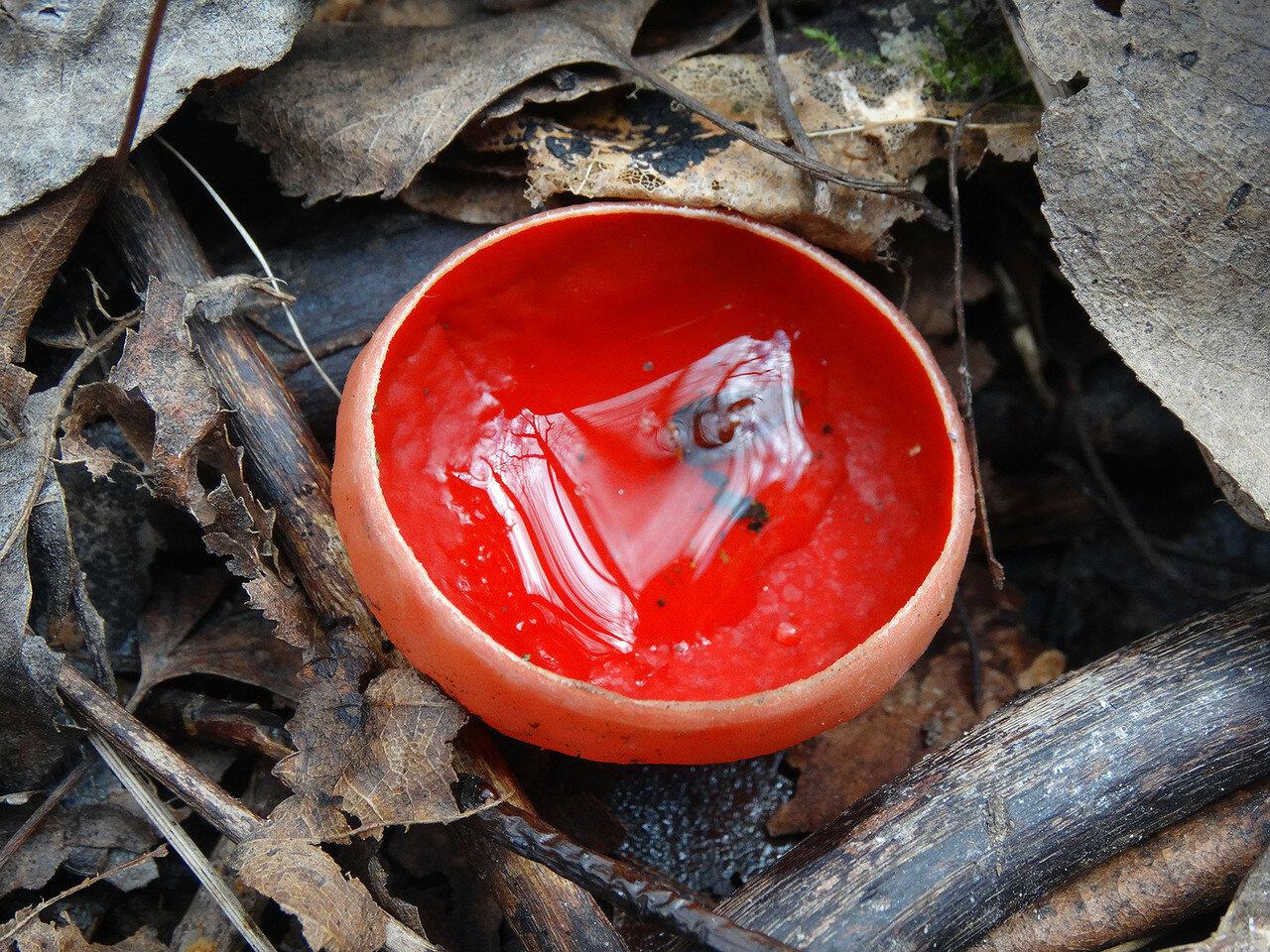 Саркосцифа австрийская (Sarcoscypha austriaca). Автор фото: Привалова Марина