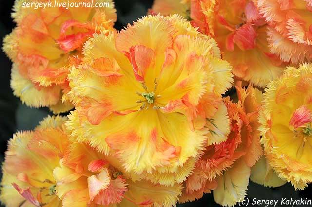 Tulipa Vaya Con Dios (9).JPG