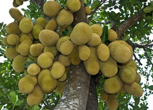 �������� - ���������� ����� � ��������� Jackfruit is a popular fruit in Bangladesh