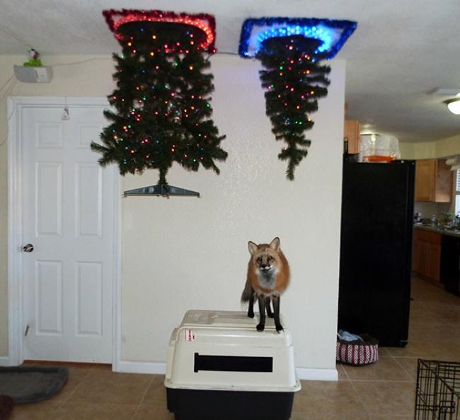 © lokitheredfox   Ель рождественская. Модель для любителей кошек