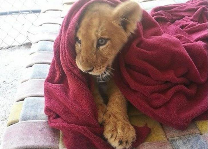 Этот львенок не может заснуть без своего одеяла (5 фото)