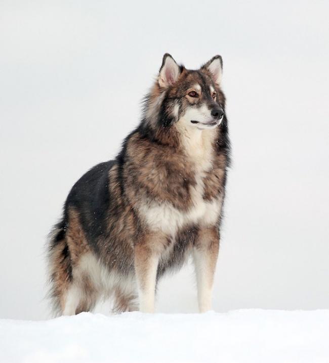 Это пес небез основания внушает уважение иблагоговейный страх, ведь внем течет кровь одновременно