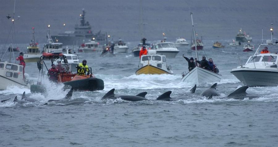 Десятки лодок согнали 22 ноября группу черных дельфинов в бухту, где и свершилось это кровавое дейст