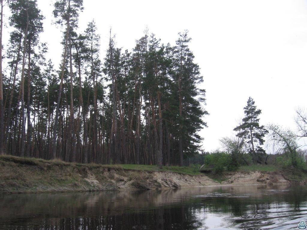 Сосновый лес у Ворсклы