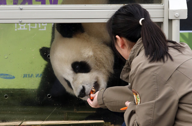 A South Korean handler feeds a panda named Le Bao, a three-year-old male, during a welcoming ceremon