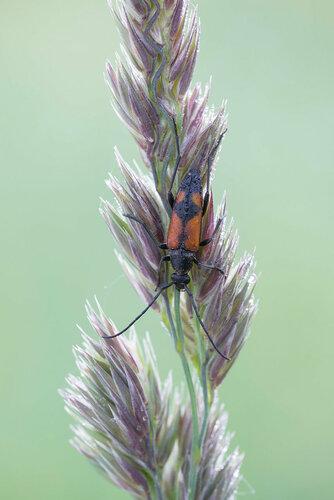 Альбом:  Мир под ногами /  Жесткокрылые или жуки / Cerambycidae - Усачи (Cerambycidae: Lepturinae), самка Автор фото: Владимир Брюхов