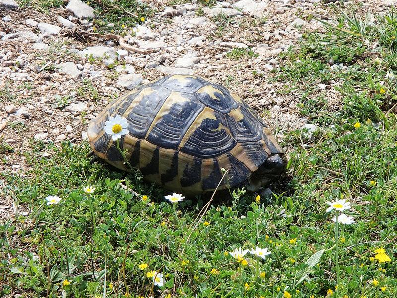 черепаха в Греции
