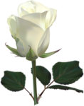Beautiful Roses #7 (10).png