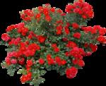 Beautiful Roses #7 (25).png