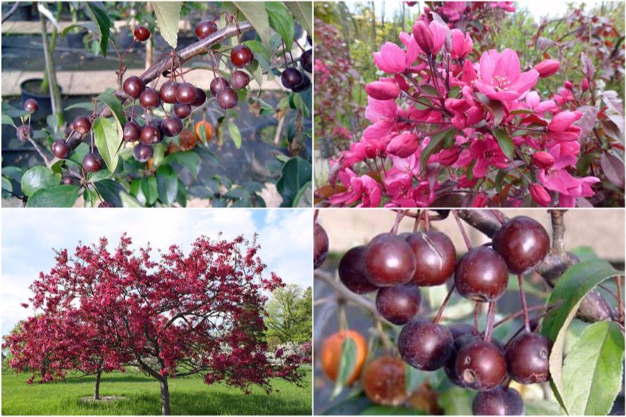 Райская яблоня, особенности ухода и посадки - яблоня Liset