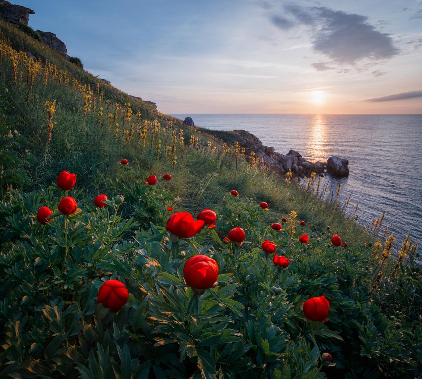 Дикие пионы / фото Emil Rashkovski