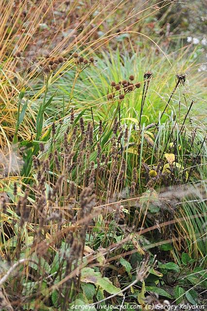 Stachys monniery Hummelo Eryngium yuccifolium.JPG