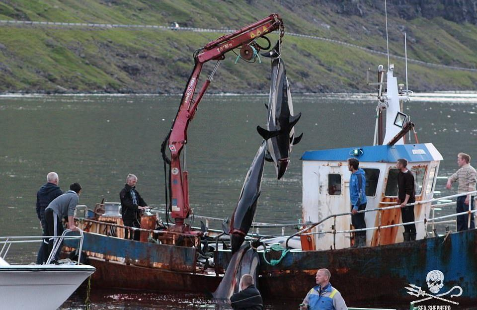 Море крови: массовый забой китов и дельфинов на Фарерских островах (20 фото)
