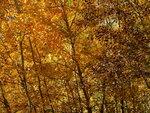 4835.JPG Осиновая осень.