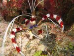 A Banded Coral Shrimp (Stenopus hispidus). Cod Hole, Ribbon Reefs, Great Barrier Reef