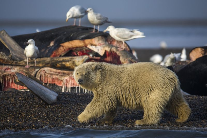 Due to lack of food, polar bears settle near people.