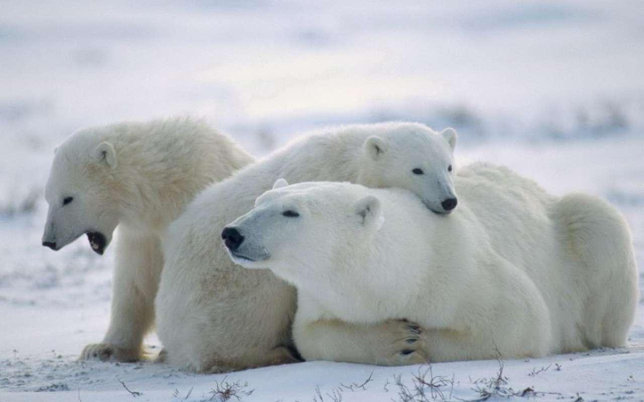Международный день полярного медведя. Семья отдыхает