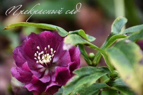 цветок бургунд