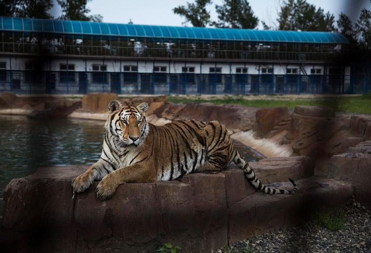 1. На самом деле, такие тигриные фермы существуют по всему Китаю. Сотрудники этого парка утверж