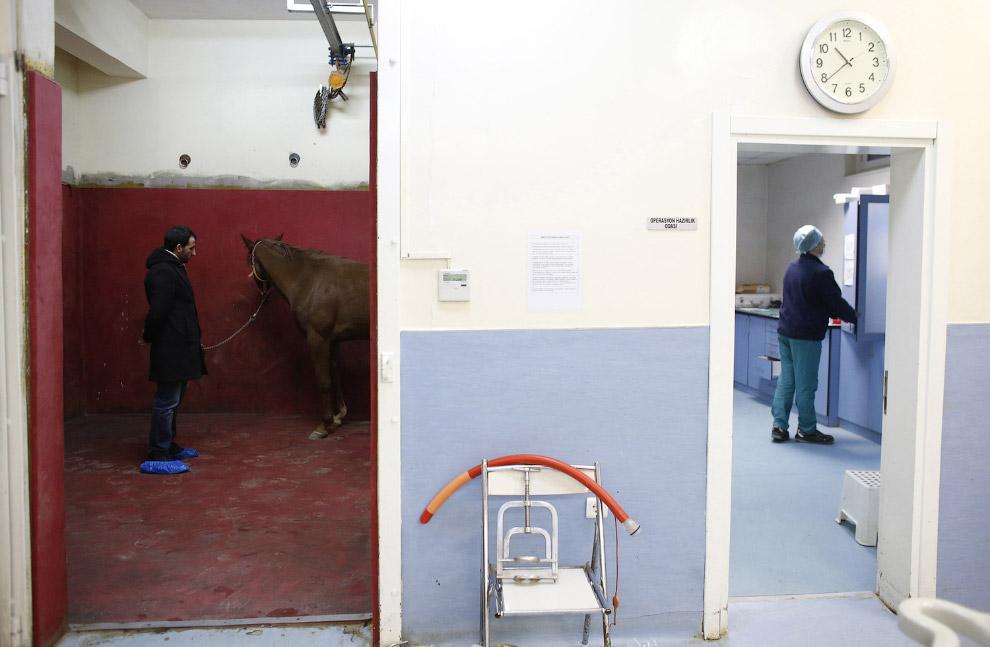 6. Поскольку лошадь после применения анестезии теряет сознание, ее держат, чтобы аккуратно поло