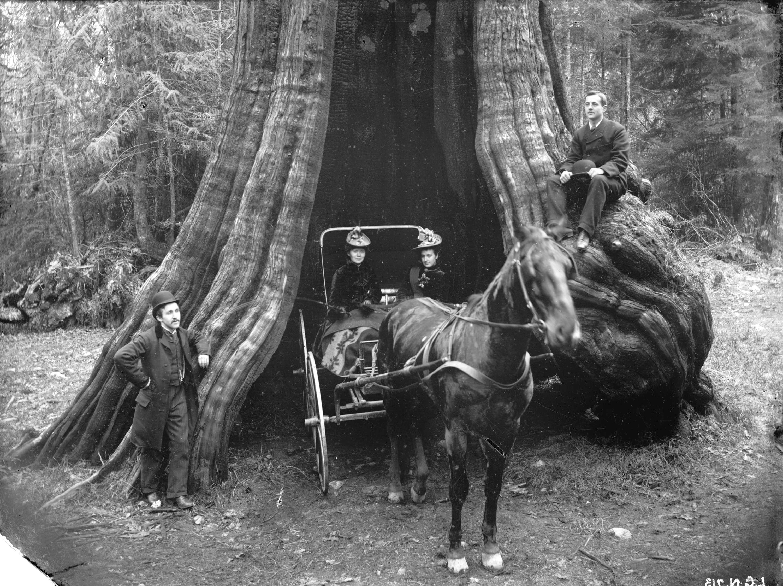 Кедровое дерево в Стэнли-парке