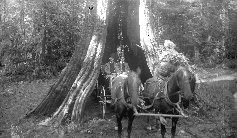 Кедровое дерево, 80 футов в окружности, Стэнли-Парк, Ванкувер, Британская Колумбия